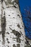 Populus tremula, albero della tremula, albero della tremula di tremito o del pioppo tremolo immagini stock libere da diritti