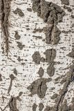Populus tremula, albero della tremula, albero della tremula di tremito o del pioppo tremolo immagine stock libera da diritti