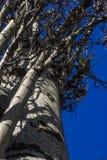 Populus tremula, albero della tremula, albero della tremula di tremito o del pioppo tremolo fotografie stock