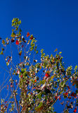 Populusbaum mit einigem Herbstlaub von unterhalb gesehen Lizenzfreies Stockbild