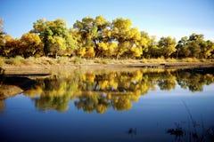 Populuseuphratica bredvid floden royaltyfri bild