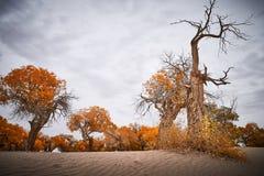 Populuseuphratica in woestijn stock foto's