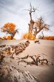 Populuseuphratica in woestijn royalty-vrije stock foto's