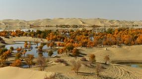 Populuseuphraticaskogen i öknen Arkivbild