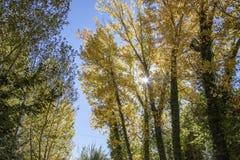 Populusskog fotografering för bildbyråer