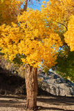 Populuswald Stockbild