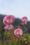 Popy rosado fotos de archivo