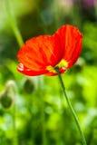 Popy rouge Images libres de droits