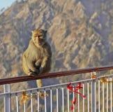 poręcza himalajów hindusa małpa Zdjęcie Stock