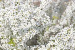 Por completo de la guirnalda nupcial el arbusto florece en tiempo de primavera Imagenes de archivo
