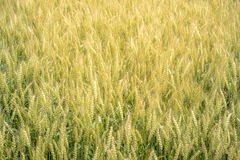 Por completo del fondo de oro del campo del arroz, concepto de la comida Imagen de archivo