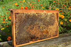 Por completo del panal puro fresco de la miel Panal puro de la abeja con la miel Imágenes de archivo libres de regalías