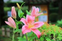 Por completo floración del lirio asiático rojo Fotos de archivo libres de regalías