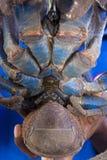 Por debajo de cangrejo de coco Fotos de archivo