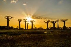 Por do sol acima da avenida do Baobab fotos de stock royalty free
