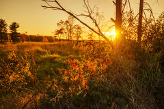 Por do sol atrás de Blackberry arbustos Foto de Stock Royalty Free
