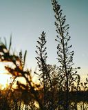 Por do sol através da grama Imagens de Stock