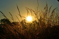 Por do sol através da grama de semeação Foto de Stock