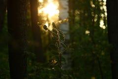 Por do sol através das árvores na floresta Fotos de Stock
