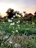 Por do sol do az da flor imagens de stock royalty free