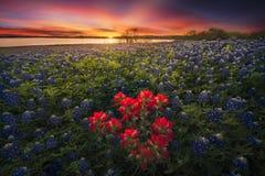 Por do sol do Bluebonnet, Ennis, TX imagem de stock