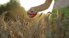 Por do sol bonito no campo de trigo vídeos de arquivo