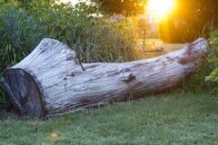 Por do sol branco do coto de árvore Fotografia de Stock Royalty Free