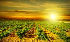 Por do sol brilhante no vinhedo fotografia de stock royalty free