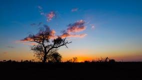 Por do sol colorido no arbusto africano Silhueta das árvores da acácia no luminoso Parque nacional de Kruger, destino famoso do c Imagem de Stock