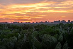 Por do sol colorido sobre um campo da couve na Holanda fotos de stock