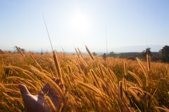 Por do sol com gramas que seguem o vento Imagens de Stock Royalty Free