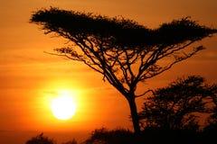 Por do sol da árvore da acácia, Serengeti, África Fotos de Stock Royalty Free