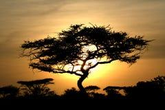 Por do sol da árvore da acácia, Serengeti, África Imagens de Stock