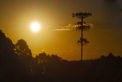 Por do sol da araucária Imagens de Stock