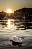 Por do sol da cisne Foto de Stock Royalty Free