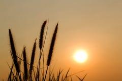 Por do sol da flor da grama Imagens de Stock