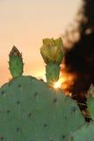 Por do sol da flor do cacto Fotografia de Stock Royalty Free