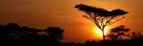 Por do sol da árvore da acácia, Serengeti, África Imagem de Stock