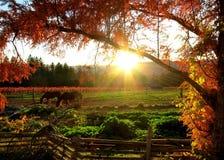 Por do sol de Caifornia na exploração agrícola do vinho de Napa Fotografia de Stock Royalty Free