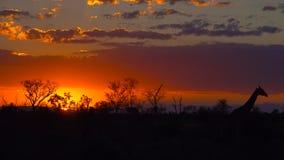Por do sol de Kruger Imagens de Stock Royalty Free
