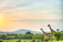 Por do sol de mara do Masai Foto de Stock
