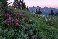 Por do sol de Mt Rainier National Park através de um campo de flores alpinas do prado à cordilheira imagem de stock