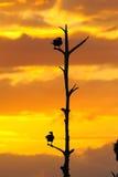 Por do sol do Anhinga fotos de stock