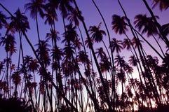 Por do sol do bosque do coco fotografia de stock