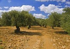 Por do sol do bosque verde-oliva foto de stock