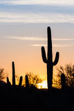 Por do sol do cacto do Saguaro Fotos de Stock