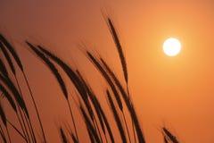 Por do sol do campo de trigo fotografia de stock royalty free