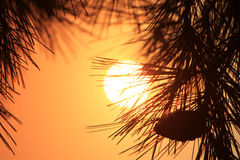 Por do sol do cone do pinho Imagem de Stock Royalty Free