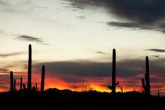 Por do sol do deserto de Sonoran dos cactos do Saguaro Fotografia de Stock Royalty Free