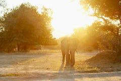 Por do sol do elefante Fotografia de Stock